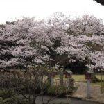 常宮神社の桜(敦賀市)