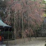 常宮神社のしだれ桜が満開です(敦賀市)
