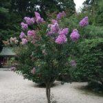 常宮神社のサルスベリ(敦賀市)