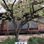 西福寺の鬱金桜(敦賀市)
